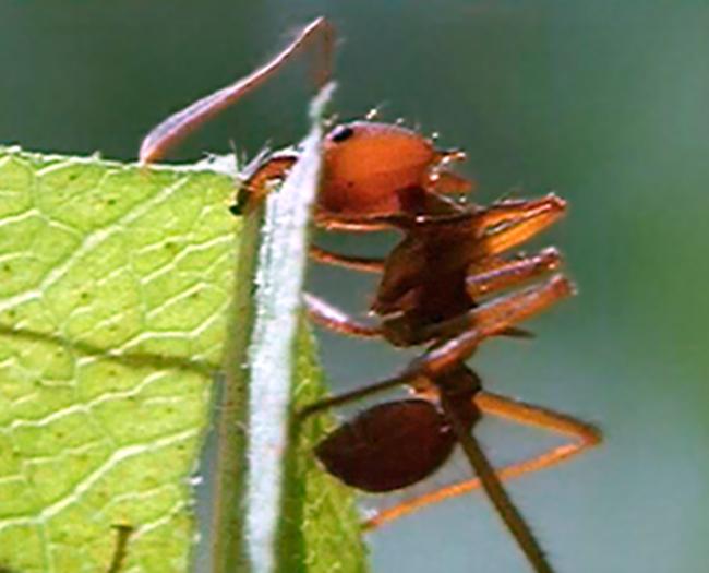 St Ed's Ants
